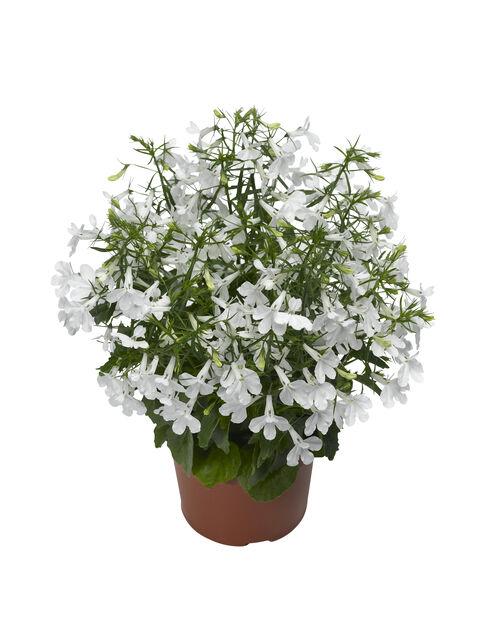 Lobelia 12 cm hvit