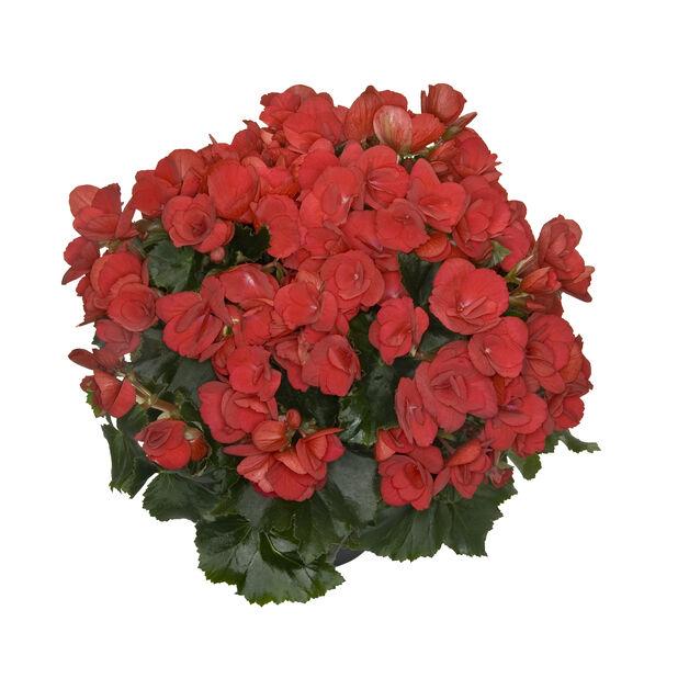 Betulia, Ø19 cm, Flere farger