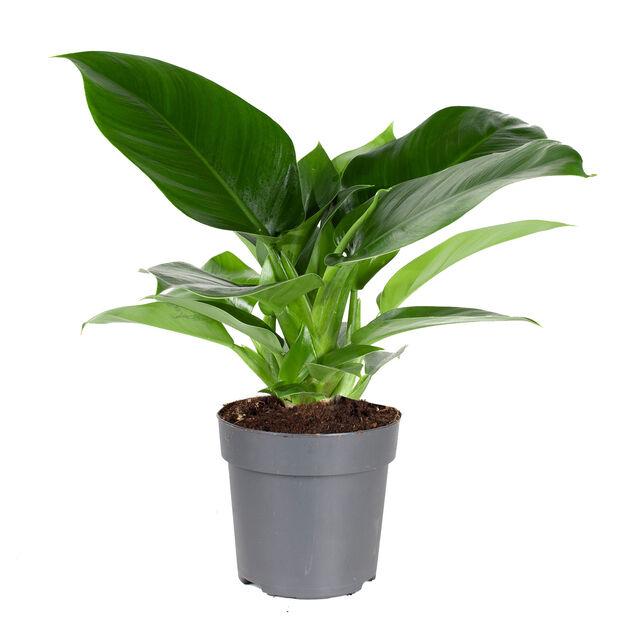 Philodendron 'Imperial Green', Høyde 30 cm, Grønn