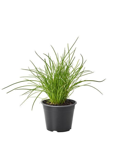 Gressløk, Ø14 cm, Grønn