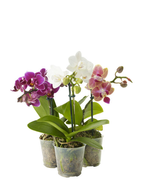 Mini-Orkidé, Høyde 20 cm, Grønn