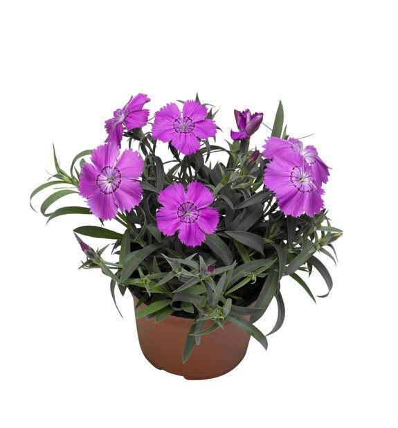 Kinanellik lilla 12 cm