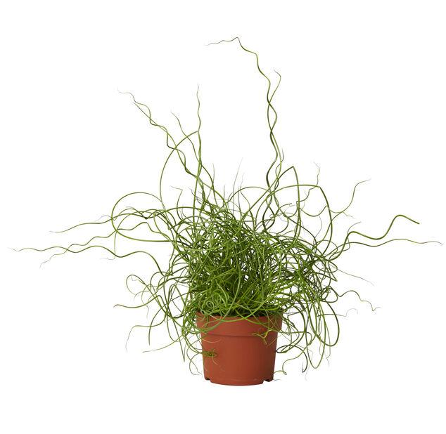 Juncus spiralis , Høyde 10 cm, Grønn