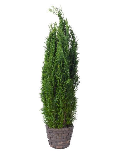 Sypress 'Ellwoodii' i 23 cm