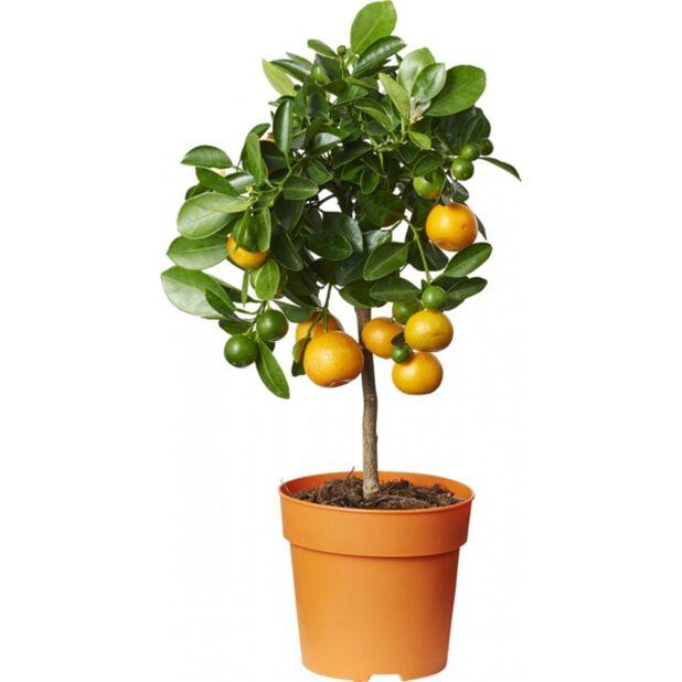 Dvergsitrus, Ø12 cm, Oransje