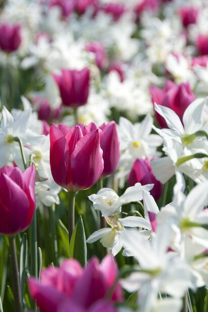 Høstløk miks Spring Wonder, Flerfarget