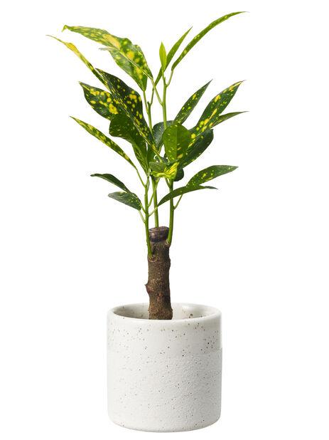 Kroton mini, Høyde 7 cm, Grønn