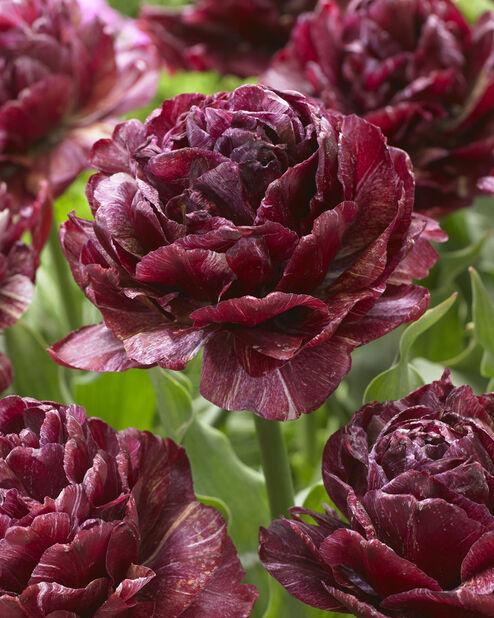 Tulipan 'Nachtwacht', Rosa