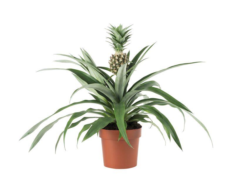 Ananasplante, Høyde 45 cm, Grønn