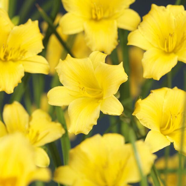 Daglilje miks, Ø23 cm, Flere farger