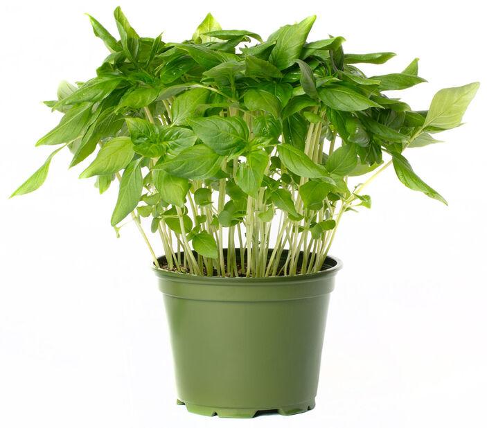 Thaibasilium, Ø12 cm, Grønn