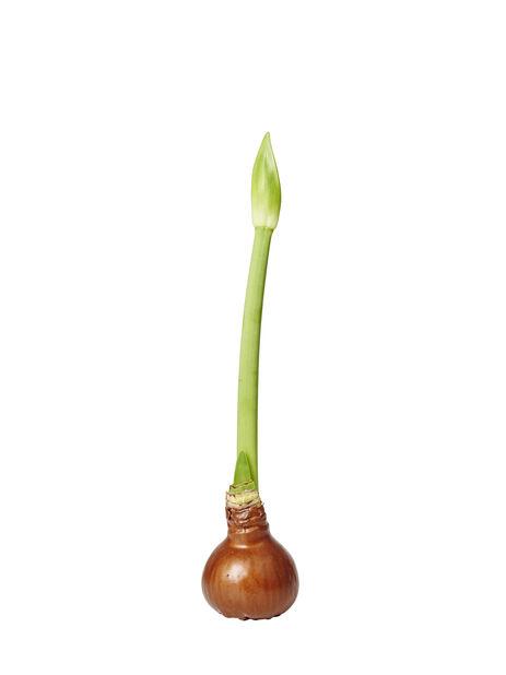 Amaryllis vokset løk