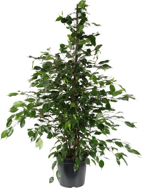 Fikus 'Danielle', Høyde 135 cm, Grønn