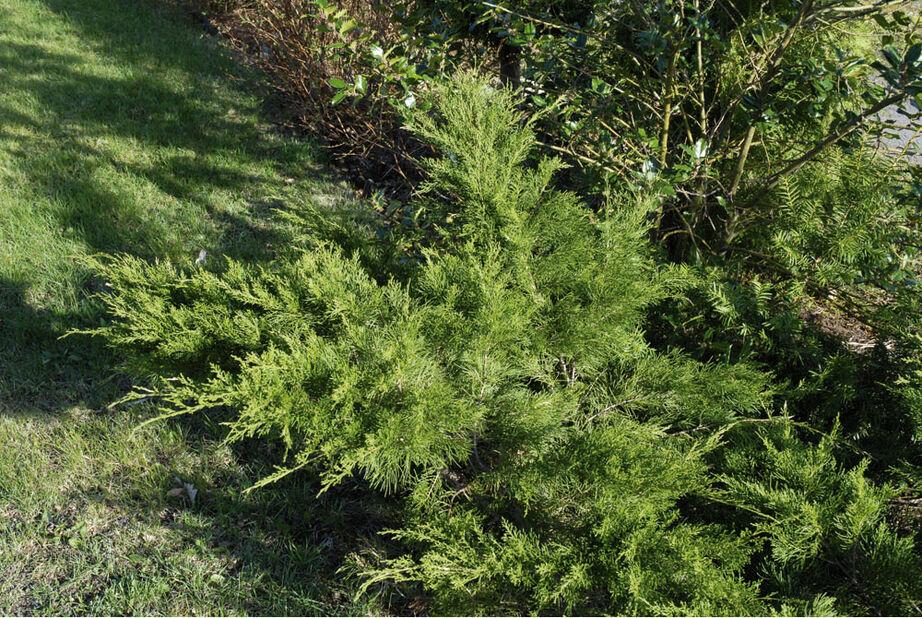 Mellomeiner 'Mint Julep', Høyde 25-30 cm, Grønn