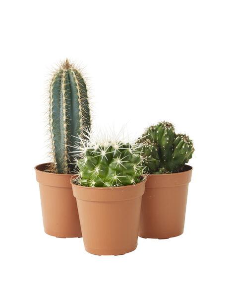 Kaktus mini, Høyde 7 cm, Grønn