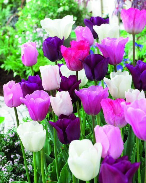 Tulipanmiks Midnight Moments, Flerfarget