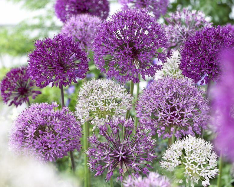Allium 'Elegant', Flerfarget