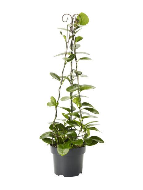 Porslensplante, Høyde 80 cm, Grønn
