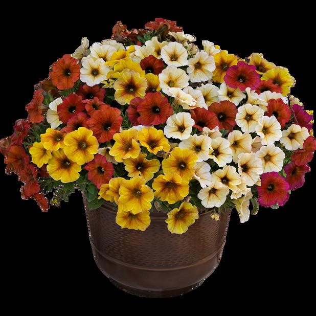 Petunia 'Beauty Cal', Ø19 cm, Flerfarget
