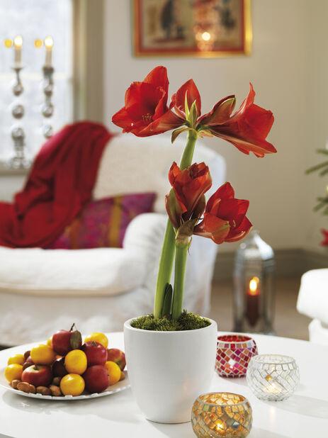 Amaryllis 2 grener, Ø13 cm, Rød