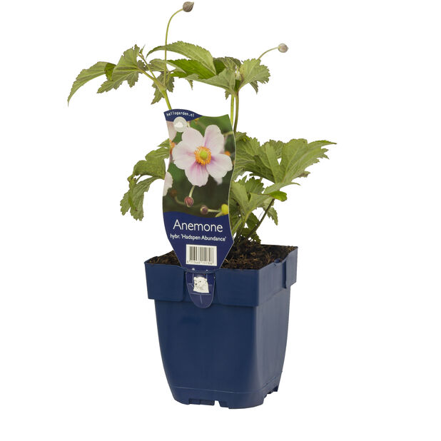 Høstanemone 'Hadspen Abundance', Ø11 cm, Rosa