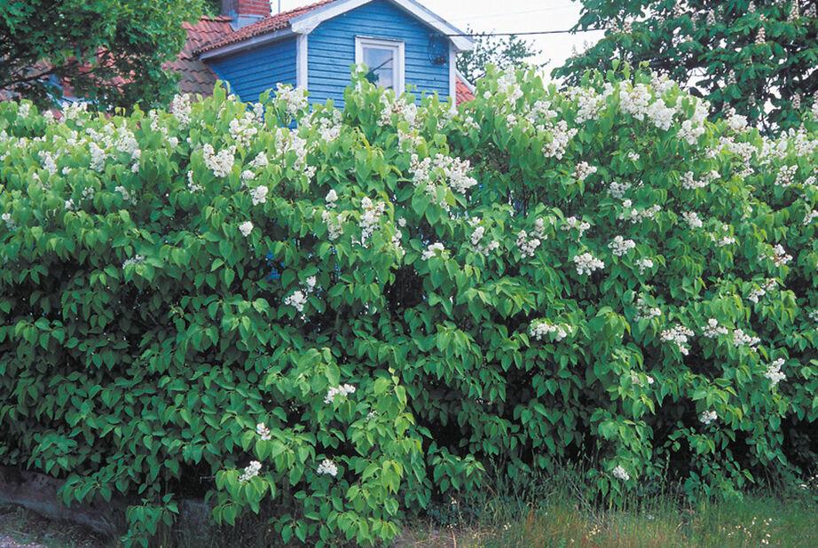 Syringa vulgaris 'Alba' 30-50 h 5-p inkr 5,5L