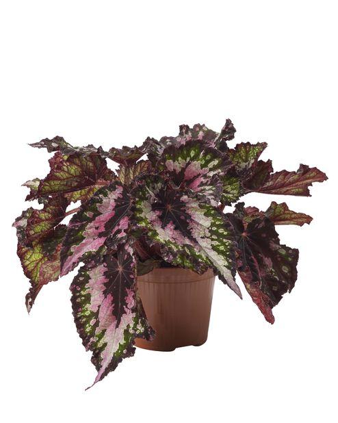 Kongebegonia 'Santiago', Høyde 25 cm, Grønn