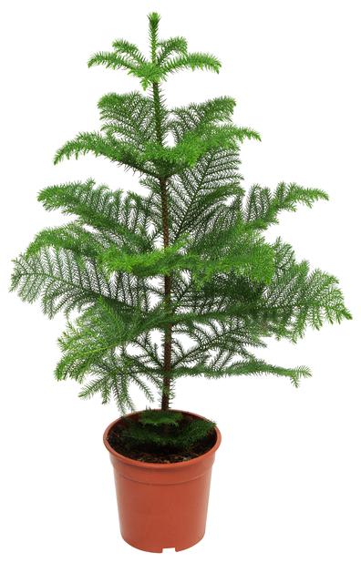 Stuegran, Høyde 95 cm, Grønn