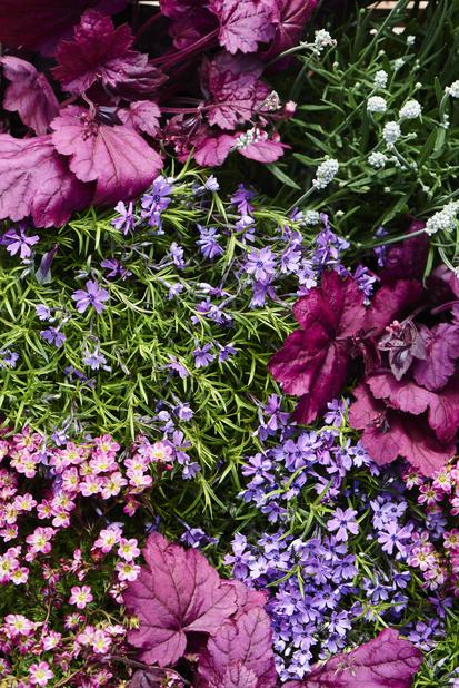Lavendel, Høyde 30 cm, Hvit