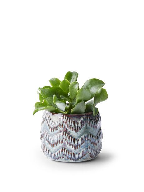Crassula mini, Høyde 10 cm, Grønn