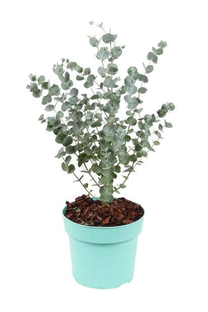 Eucalyptus 'Azura', Ø17 cm, Grå