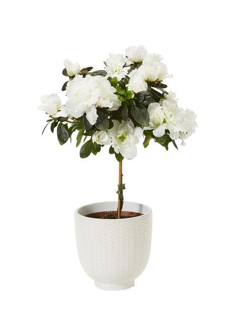 Asalea på stamme, Ø12 cm, Hvit