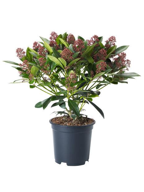 Skimmia japonica 'Rubella' 19 cm