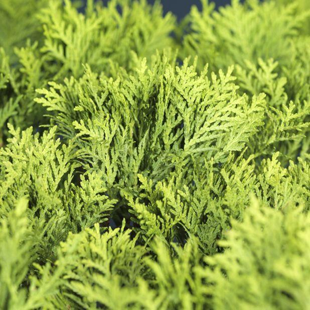Thuja occidentalis 'Danica' 40-50 10L