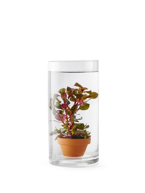 Vannplante Hygrophilla 9 cm