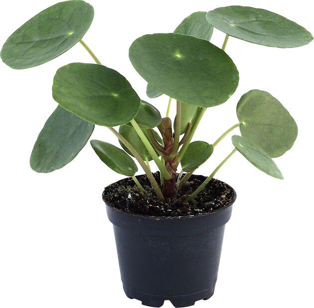 Elefantøre, Høyde 8 cm, Grønn