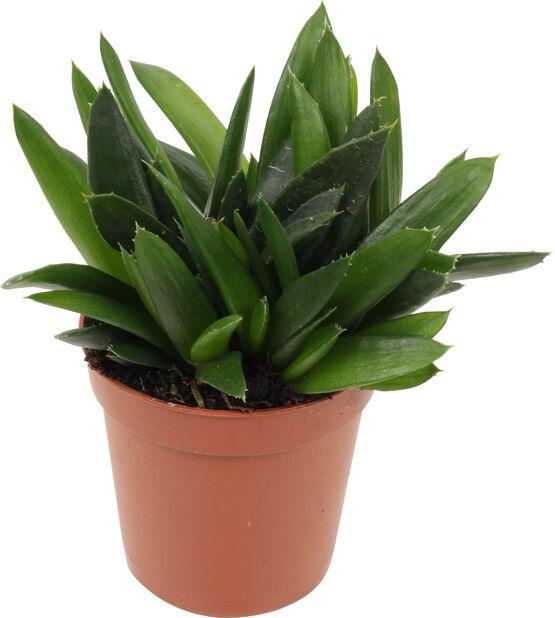 Aloe/Hawortia miks, Høyde 7 cm, Grønn
