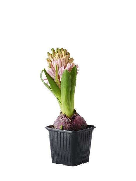 Hyacinthus orientalis Pink 7cm