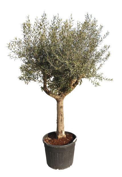 Olea europaea tree high 300 cm, Høyde 300 cm, Grå