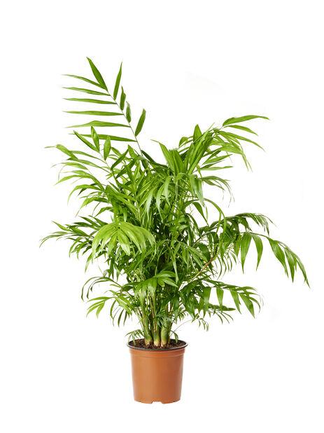 Dvergfjærpalme, Høyde 90 cm, Grønn