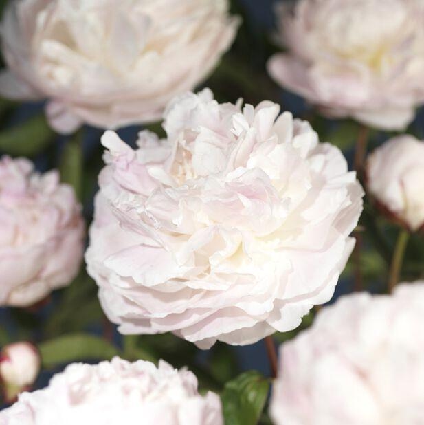 Silkepion hvit 14 cm