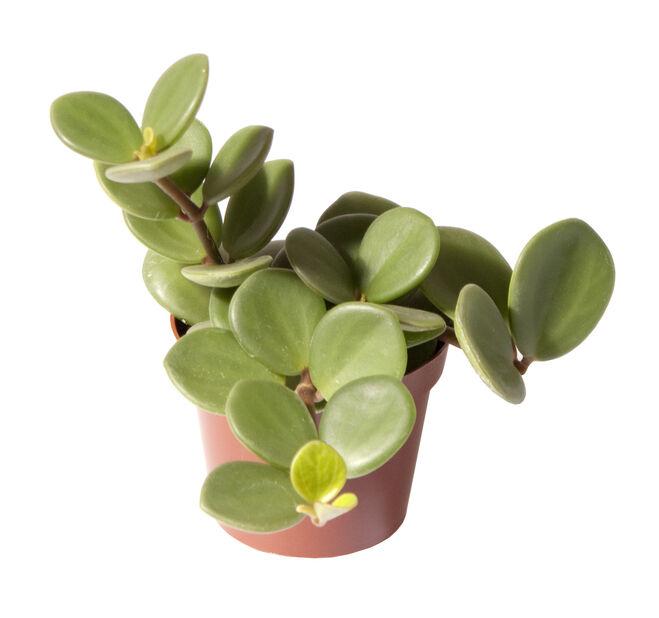 Pepperomia 'Hope' mini, Høyde 10 cm, Grønn