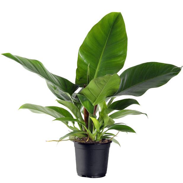 Philodendron 'Imperial Green', Høyde 55 cm, Grønn