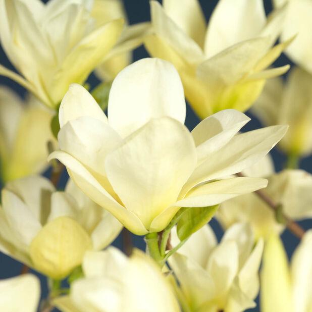 Magnolia 'Yellow River', Ø25 cm, Gul