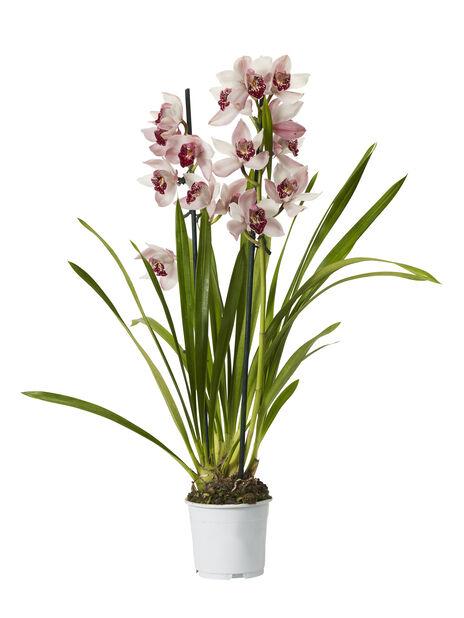 Cymbidium orkidé 12 cm