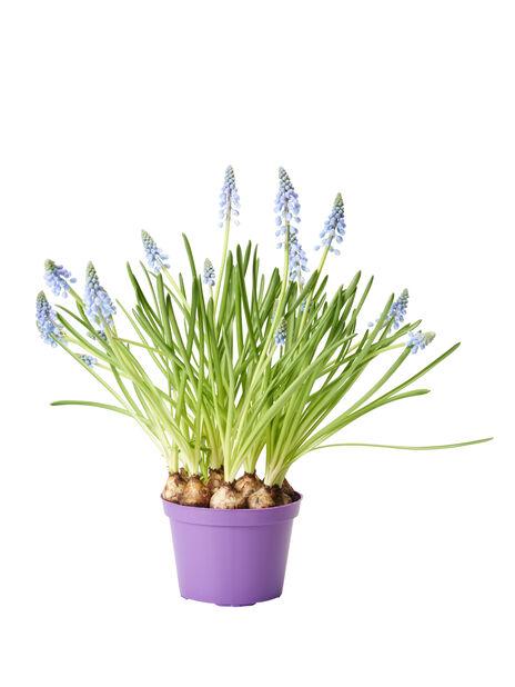 Perleblomst, Ø12 cm, Blå