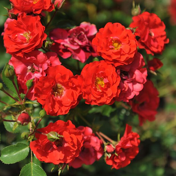 Klaserose 'Bee Friendly' red, Ø19 cm, Rød