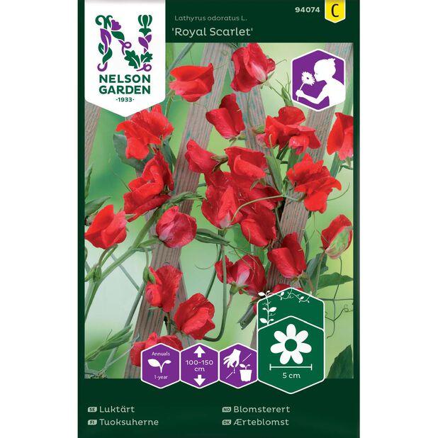 Erteblomst 'Royal Scarlet', Flerfarget
