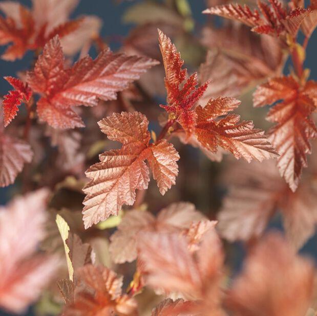 Physocarpus opulifolius 'Diable D'Or', Høyde 50 cm, Hvit