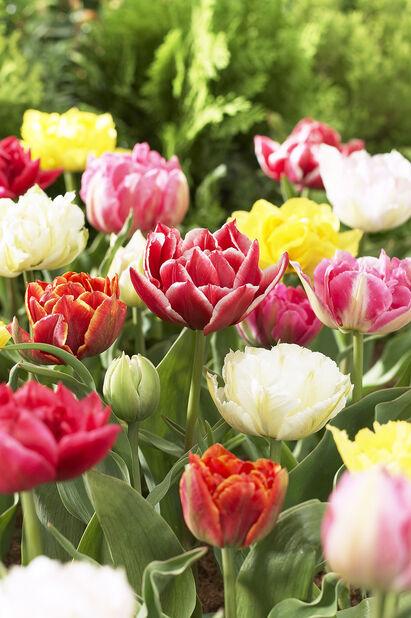 Tulipan 'Double Early Mix', Flerfarget